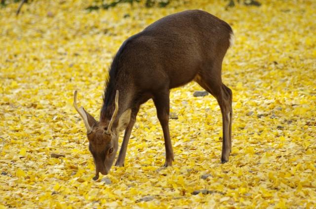 モソモソする鹿の写真