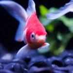 金魚の色がだんだん色あせてきた……?もとの鮮やかな赤に戻す方法は?
