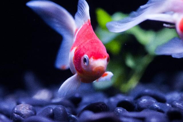 金魚の雑学