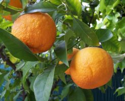 鏡餅の上にあるミカンのような果物(ダイダイ)