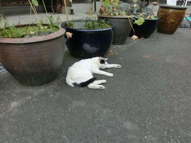 ねこ寺さんの白い猫